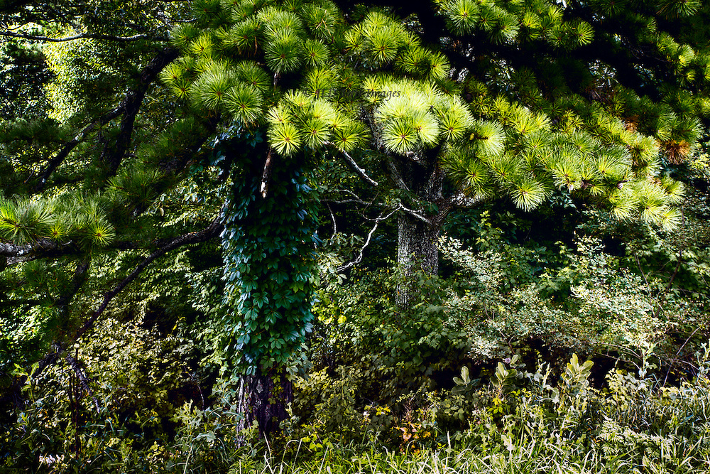 Tangle of pine and deciduous tree covered with ivy, seen from the Skyline Drive in Virginia.  Lights and darks make a composition of horizontals and verticals.