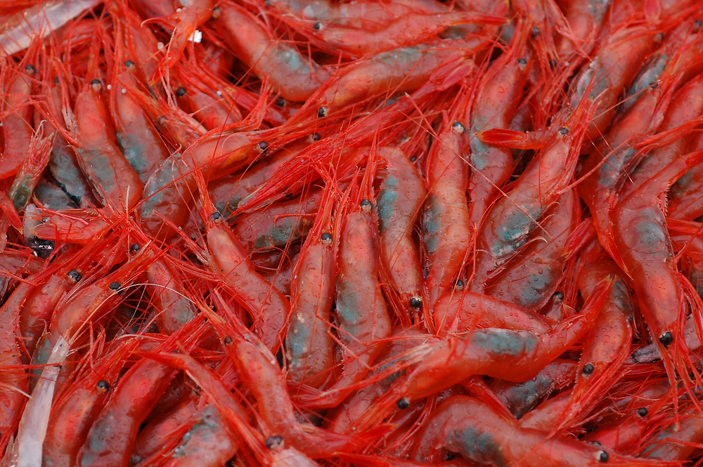 Deep Water Shrimps (Pandalus borealis). Location : Norway