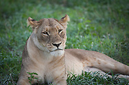 A young adult lion, Botswana.