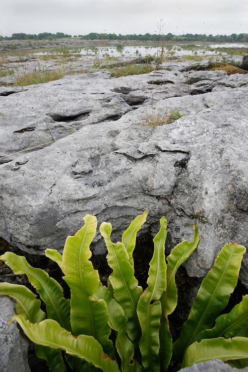 Hart's tongue fern (Phyllitis scolopendrium) Burren national park ireland