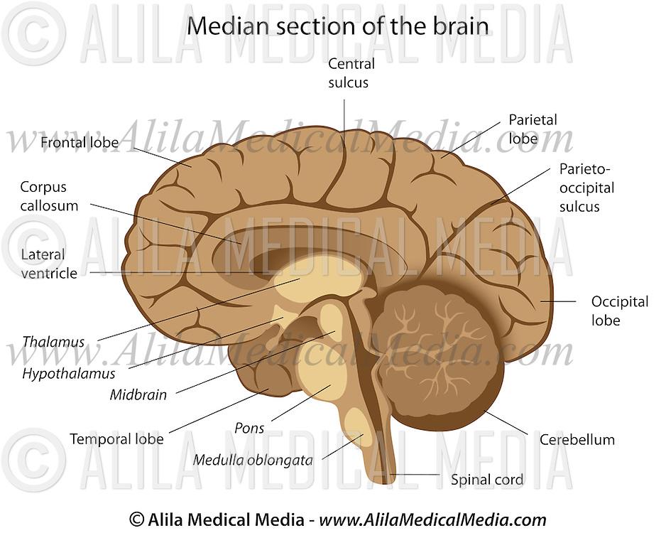 Human Brain Anatomy Alila Medical Images