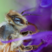Getting some pollen on a great spring day in the high desert - a honeybee hard at work.