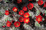 Claret Cup Cactus also known as Hedgehog Cactus displays vivid scarlet blooms in the spring.