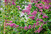 Western Redbud (Cercis occidentalis), Yosemite National Park, California USA
