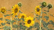 Sunflowers, California, 2008