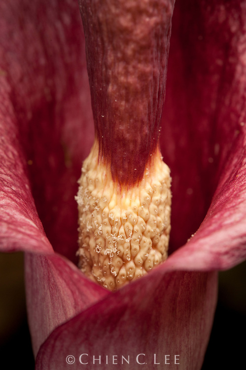 Closeup of the colorful inflorescence of Amorphophallus julaihii. Like other aroids, the small male flower (visible) are located above the female flowers (hidden inside the spathe). This species is endemic to limestone forest in northern Borneo. Sarawak, Malaysia.
