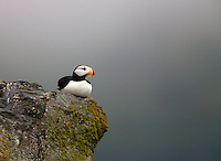 A horned puffin rest on a rocky ledge in Kodiak, Alaska