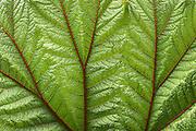 The red venations of a giant Gunnera insignis leaf. Irazu Volcano, Costa Rica. Photo by Eduardo Libby