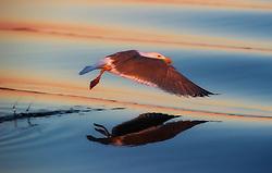 Herring Gull (Larus argentatus) in flight, Smøla, Norway