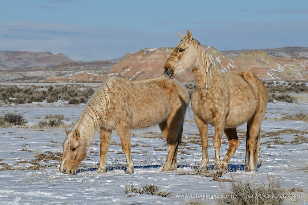 A wild palomino mare and foal grazing in the light snow during winter in northern Wyoming.