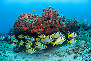 A school of Porkfish, Anisotremus virginicus, gathers near a rocky reef offshore Juno Beach, Florida, United States.6g