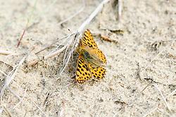 kleine parelmoervlinder, Issoria lathonia