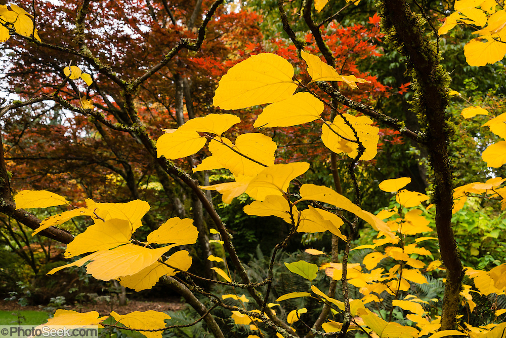 Yellow autumn leaves glow at UW Arboretum. Washington Park Arboretum is a joint project of the University of Washington, the Seattle Department of Parks and Recreation, and the nonprofit Arboretum Foundation, in the State of Washington, USA. Photographed October 22.