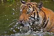 Sumatran tiger (Panthera tigris sumatrae) swimming. Sumatran tigers are a distinct subspecies of tiger found only on the Indonesian island of Sumatra. They are critically endangered, only about 500 left in the wild. They have webbing between their toes, which makes them very fast swimmers. Habitat loss and poaching continue to devastate remaining populations of this unique tiger, with no solution in sight.