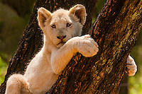 A rare White lion cub, Lion Park, near Johannesburg, South Africa. The white lion is a rare color mutation of the Timbavati region of South Africa.