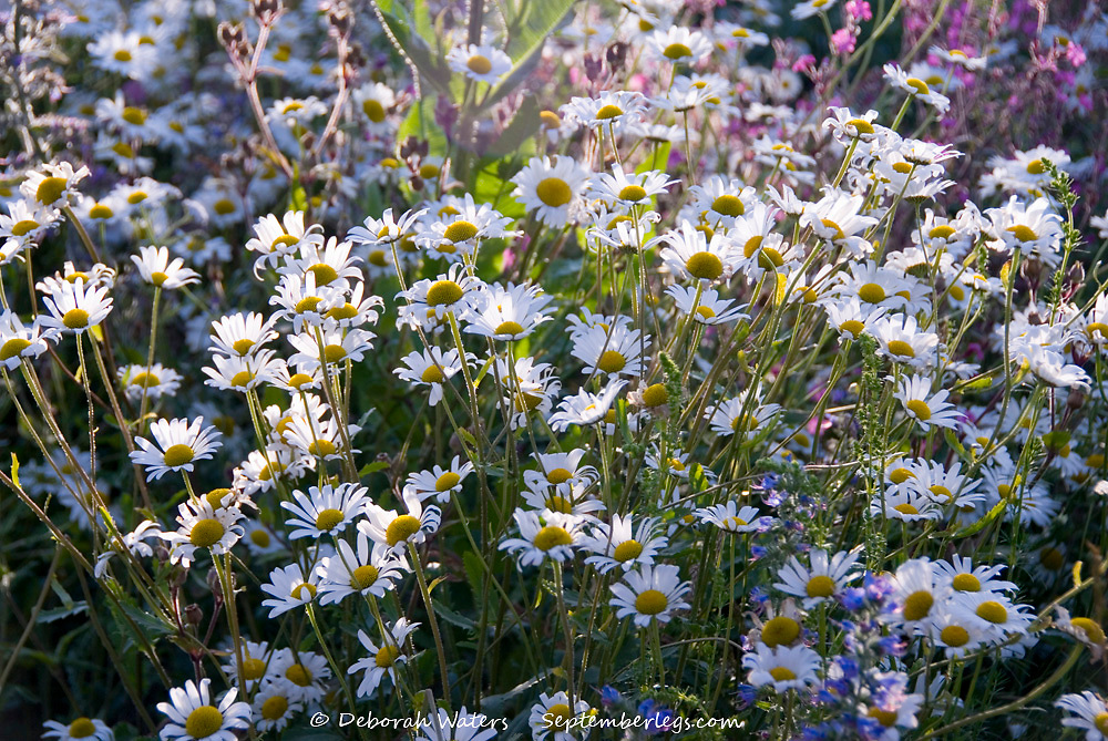 Looking down on a bed of chamomile daisy flowers in an English wild flower garden, Manor Lodge, Sheffield, UK