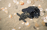 Marine pollution - young sea turtle stuck in crude oil