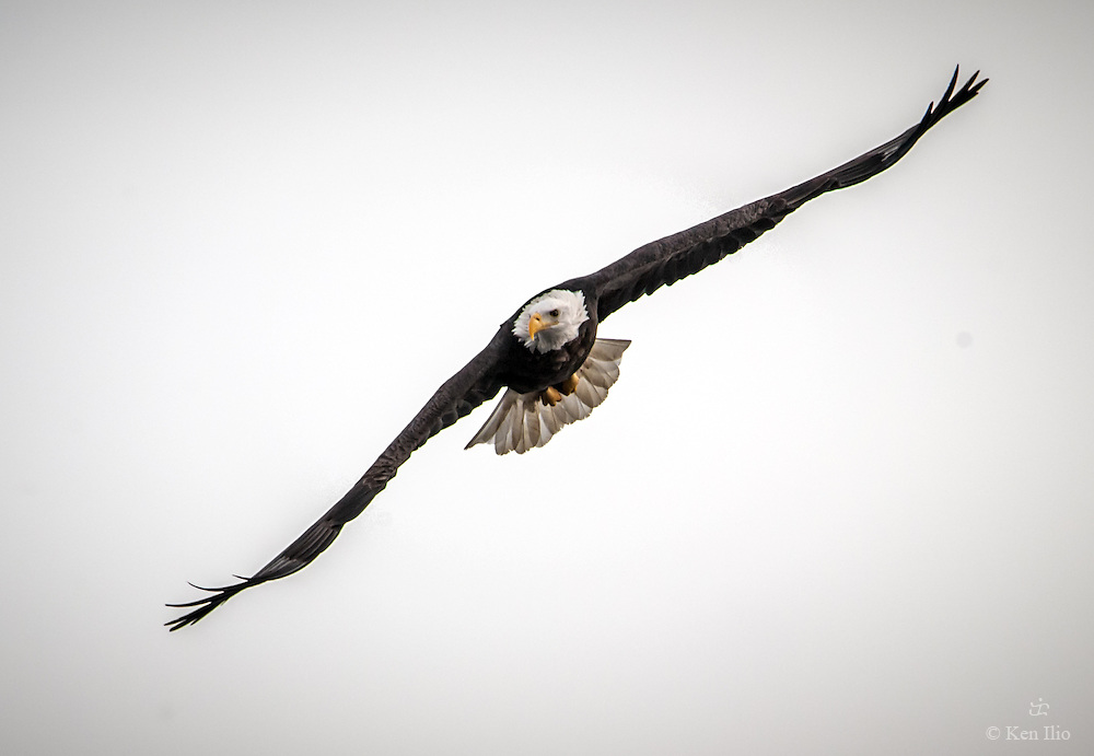 An American Bald Eagle flying over the Mississippi River looking for prey