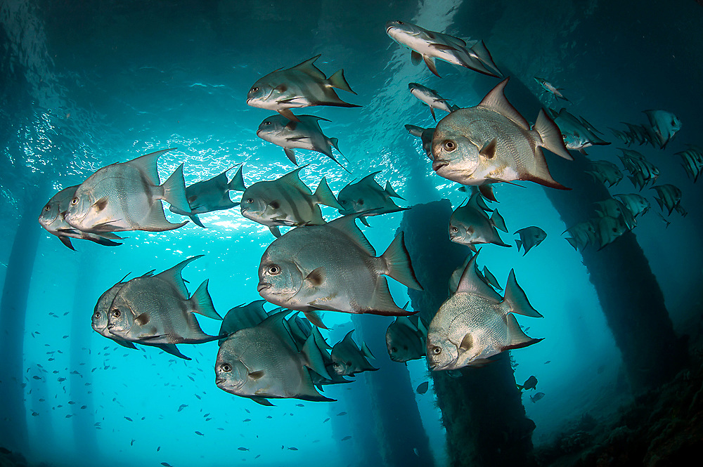 Atlantic Spadefish, Chaetodipterus faber, school underneath the Blue Heron Bridge in the Lake Worth Lagoon, Singer Island, Florida, USA