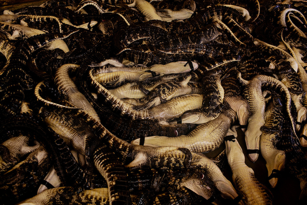 Daneco Alligator Farm in Houma, Louisiana on Tuesday, May 25, 2010.