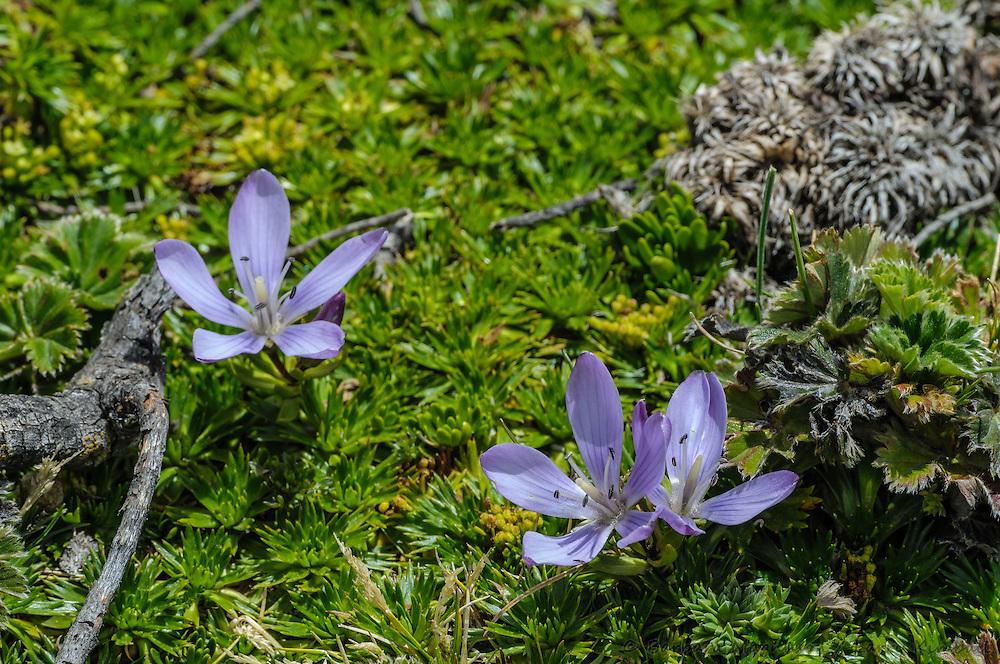 [Gentianella cerastioides; GENTIANACEAE] flowers; Cotopaxi National Park, Ecuador