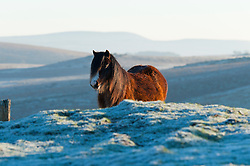 © Licensed to London News Pictures. 20/01/2016. Builth Wells, Powys, Wales, UK. Welsh ponies are seen grazing on a frosty landscape on the Mynydd Epynt high moorland near Builth wells, Powys, after a night with temperatures dropping to minus 5 degrees centigrade in Mid Wales. Photo credit: Graham M. Lawrence/LNP