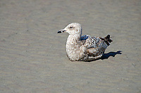 A juvenile Herring Gull sitting on a sandy beach.