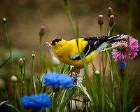 American Goldfinch Feasting on the Bachelor Button Flowers. Image taken with a Fuji X-T1 camera and 100-400 mm OIS lens