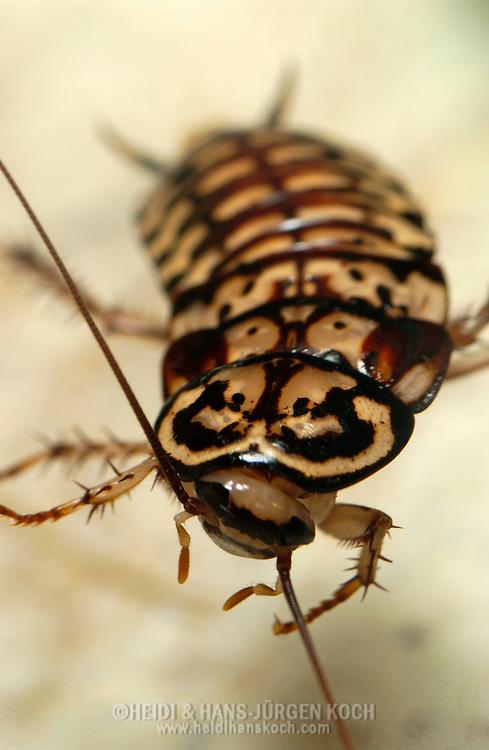 Deu, Deutschland: Porträt einer Harlekinschabe (Neostylopyga rhombifolia) | Deu, Germany: Portrait of harlequin cockroach (Neostylopyga rhombifolia) | ..