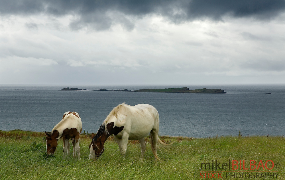 Horses in the &quot;Causeway Route&quot;. <br /> Northern Ireland coast, United Kingdom (2)