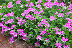 Pelargonium 'Pink Capricorn' syn. 'Pink Capitatum'