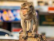 30 NOVEMBER 2014 - LOPBURI, LOPBURI, THAILAND: A Long Tailed Macaque monkey wanders through town in Lopburi. Lopburi is the capital of Lopburi province and is about 180 kilometers from Bangkok. Lopburi is home to thousands of Long Tailed Macaque monkeys. A regular sized adult is 38 to 55cm long and its tail is typically 40 to 65cm. Male macaques weigh around 5 to 9 kilos, females weigh approximately 3 to 6 kg. The Monkey Buffet was started in the 1980s by a local business man who owned a hotel and wanted to attract visitors to the provincial town. The annual event draws thousands of tourists to the town.    PHOTO BY JACK KURTZ