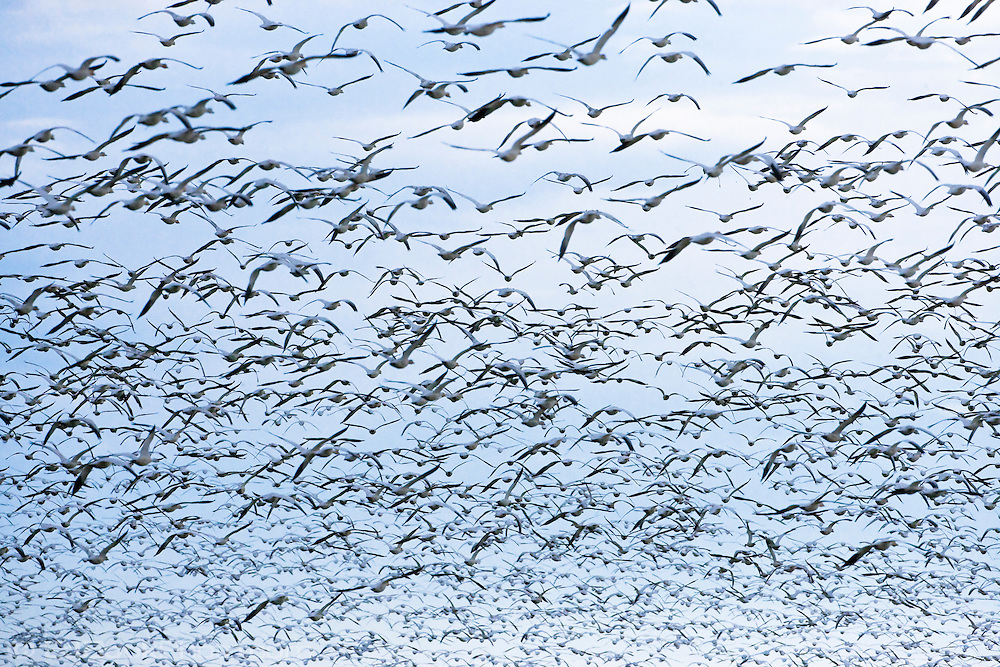 Snow Geese (Chen caerulescens) flock launches into flight in mass panic from a preditor at Fox Island, Skagit River Delta, WA, USA