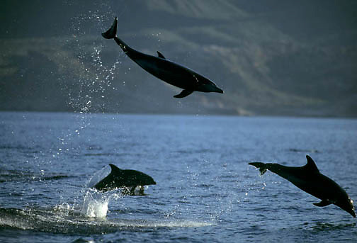 Bottlenose Dolphin, (Tursiops truncatus) Jumping. Sea of Cortez. Baja, Mexico.