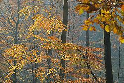 01.11.2011, Wettrfeature Themebild, GER, Hannover, im Bild  Herbst Laubwald Buchenblätter an der L401 -hier gesehen im Weserbergland bei Hannover am 01.11.2011. EXPA Pictures © 2011, PhotoCredit: EXPA/ nph/  Rust       ****** out of GER / CRO  / BEL ******
