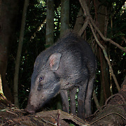 The wild boar (Sus scrofa), also known as the wild swine[ or Eurasian wild pig is a suid native to much of Eurasia, North Africa and the Greater Sunda Islands.