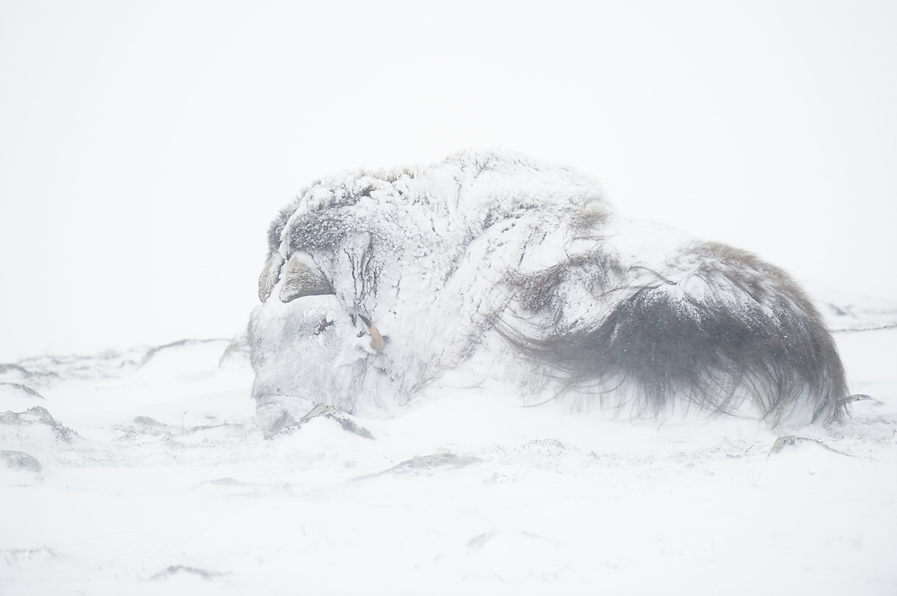 A large bull Musk Oxen, Ovibos moschatus, getting totally snowed in while a blizzard whipes across Dovrefjell NP, Norway.