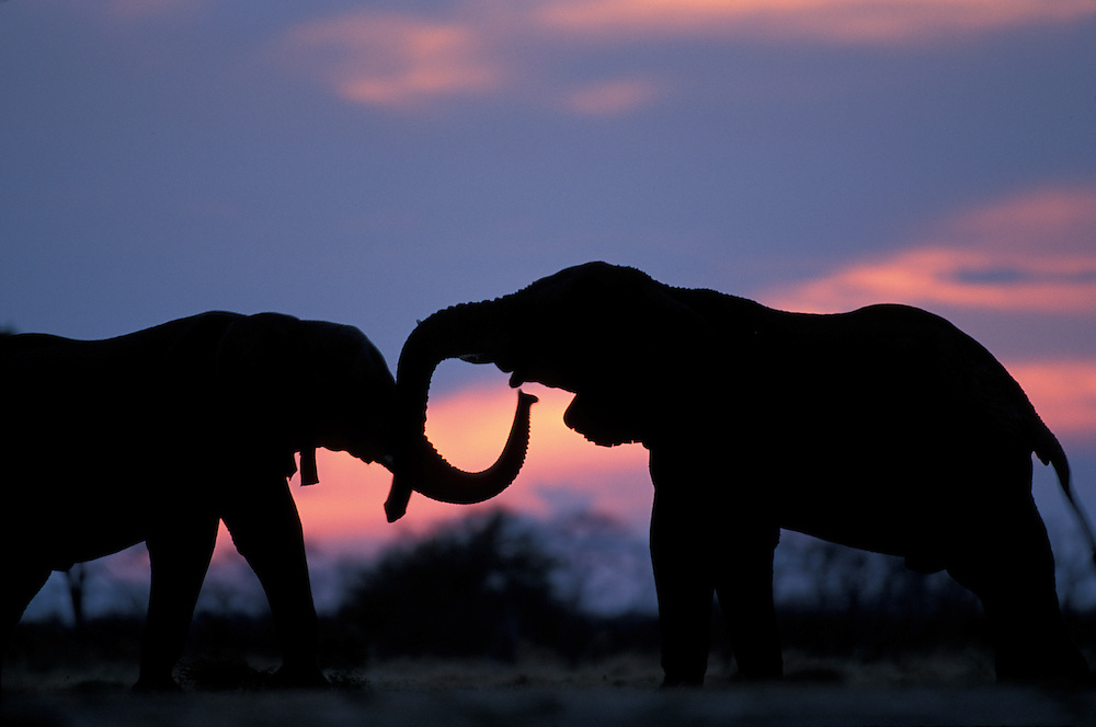 Botswana, Chobe National Park, Elephants (Loxodonta africana) silhouetted by setting sun at Marabou Pan in Savuti Marsh