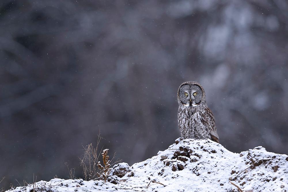 A Great Gray Owl (Strix nebulosa) in light snow fall, Missoula, Montana