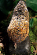 A true lemming (Lemmus sibiricus) showing the unusually short tail common for this species. Range: Siberia to Alaska.