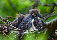 Baby tri-colored Herons in a nest on a rockery in Lake Boeuf in Lafourche Parish, part of Southern Louisiana's wetlands. Southeastern Louisiana's wetlands were threatened by the BP oil spill but containment of the Macondo well saved most of the bayous lakes and waterways that make their way to the Gulf of Mexico. Louisiana's wetlands are threaten by coastal erosion, climate change and the oil and gas industry.