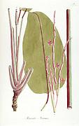 Hand painted botanical study of a Maranta arouma flower and leaf anatomy from Fragmenta Botanica by Nikolaus Joseph Freiherr von Jacquin or Baron Nikolaus von Jacquin (printed in Vienna in 1809)