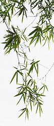 Bamboo vert #5