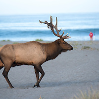 An elk passes on the sandy beach and dunes near Gold Bluffs Beach Campground at Prairie Creek Redwoods State Park in Humboldt County, California, USA.