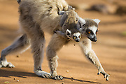 Ring-tailed Lemur<br /> Lemur catta<br /> Mother and 1-2 week old baby<br /> Berenty Private Reserve, Madagascar
