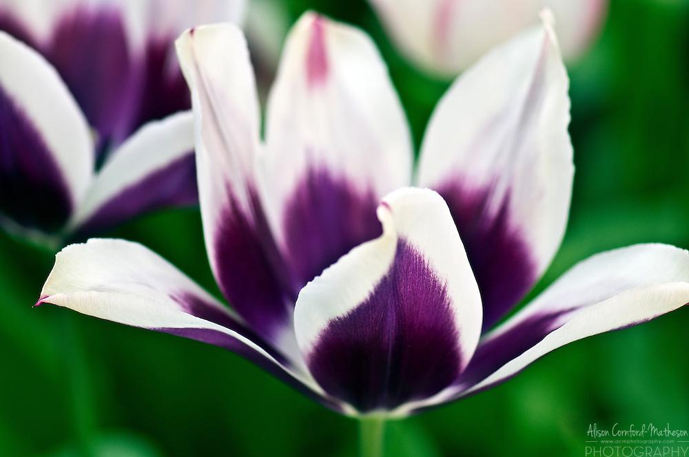 Tulipa 'Chansonnette'