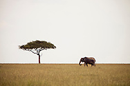 An elephant grazing near a lone acacia tree in the Masai Mara National Reserve, Kenya, Africa