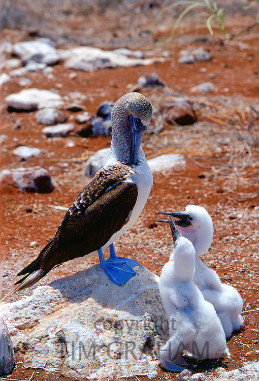 Blue-footed Booby bird on the Galapagos Islands, Ecuador  with a pair of young birds