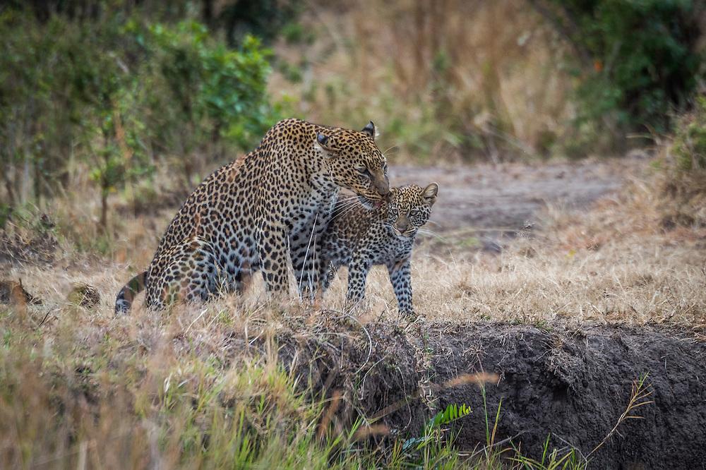 Leopard, (Panthera pardus)