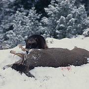 Wolverine, (Gulo gulo) Adult feeding on carcass in winter snow. Rocky mountains. Montana. Captive Animal.